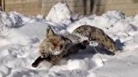 انجماد یک روباه در ترکیه به دلیل سرمای سیبری!