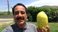گزارش موبایلی معصومینژاد درباره میوه بالنگ