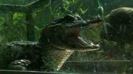 رها کردن ۱۲۰ تمساح در رود یانگ تسه