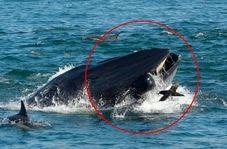 لحظه بلعیده شدن غواص توسط نهنگ غول پیکر!