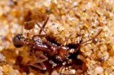 استفاده هوشمندانه عنکبوت اسپور از شن برای شکار مورچه