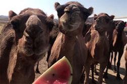 گله شترها در میانه تبریز-زنجان چه می کنند؟