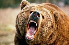 قدرتنمایی و کتک کاری خرسهای گریزلی
