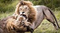 پنجه به پنجه شدن خونین ۲ شیر نر بر سر قدرت نمایی